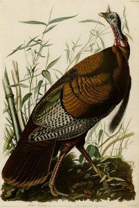 The Birds of America by John James Audubon, depicting a wild turkey