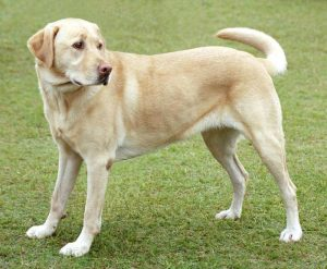 Yellow Lab Dog- Dogs and Chickens