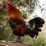 Noise Problems with Chickens, Noisy Cockerels