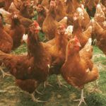 Hybrid Chicken Breeds