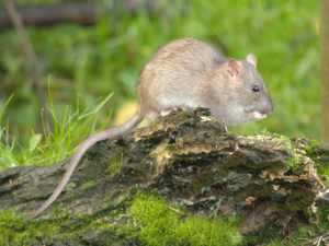 Rat Going for Chicken Feed