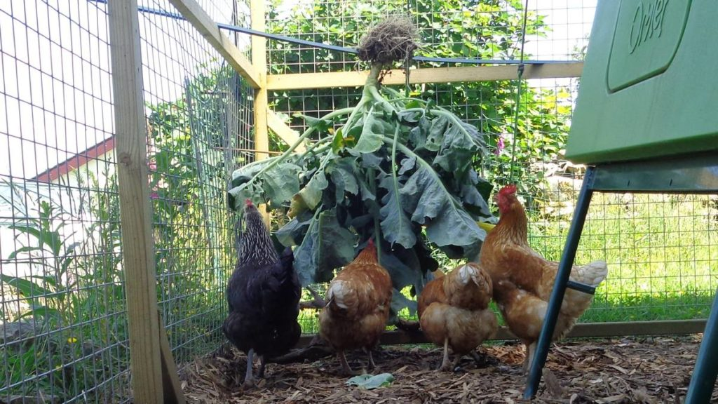 Chickens Eating Calabrese