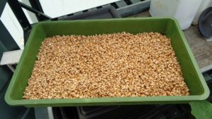 Wheat Fodder Seed Day 1