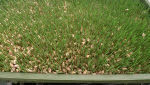 Wheatgrass Fodder Day 6