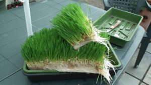 Wheatgrass Fodder Cutting